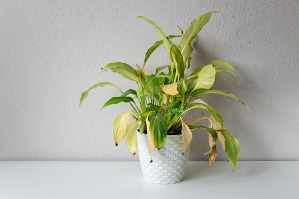 Las hojas de mis plantas se vuelven amarillas - Riego insuficiente