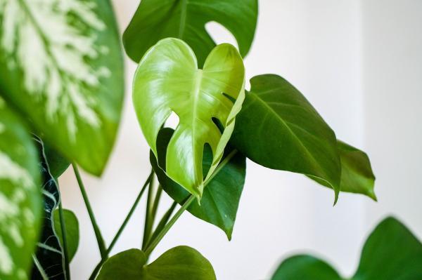 Cómo limpiar las hojas de las plantas de interior - Restaurar naturalmente el color de las hojas