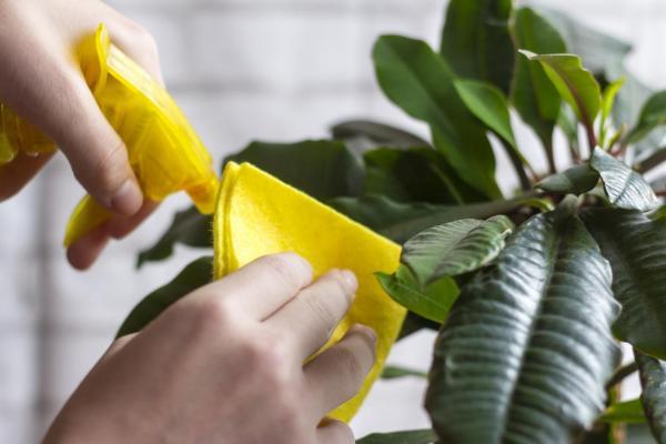 Cómo limpiar las hojas de las plantas de interior.