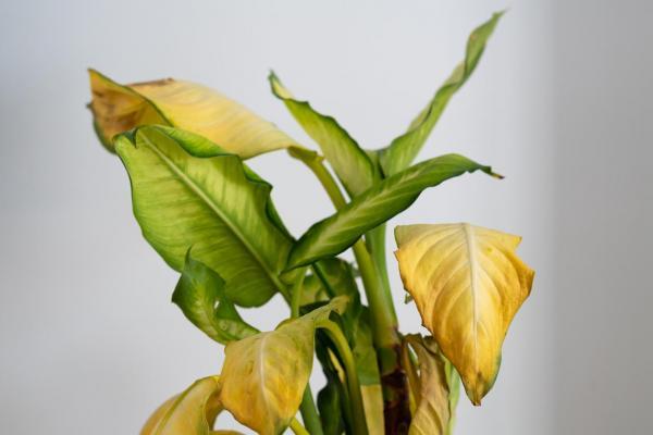 Las hojas de mis plantas se vuelven amarillas