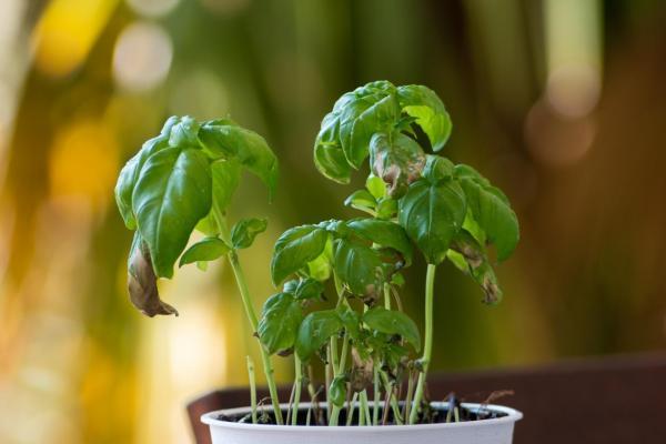 Las hojas de mis plantas se están volviendo negras - Demasiado alimento vegetal